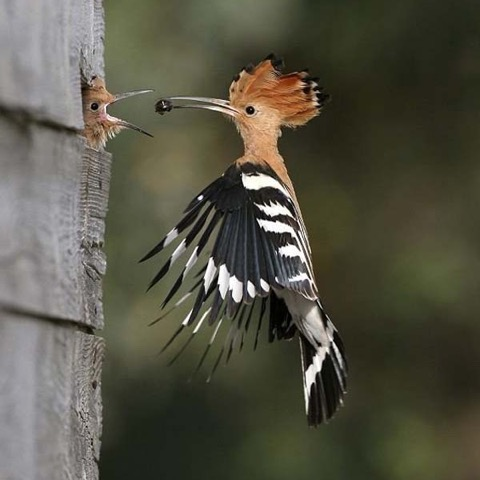 Hoopoe - RILEY